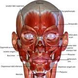 3d回报了例证-人体肌肉解剖学 库存照片