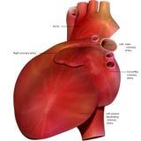 3d回报了例证-人的心脏解剖学 免版税库存图片