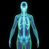 3d回报了医疗上最基本的解剖学的准确例证 库存图片
