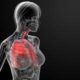 3d回报女性呼吸解剖学 免版税库存图片