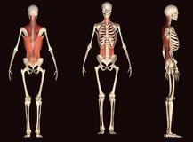 3d回报描述人体的肌肉结构 库存照片