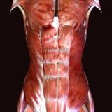 3d回报描述人体的肌肉结构 免版税库存图片