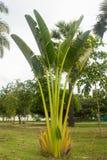 3d在掌上型计算机ravenala立场日落附近的madagascariensis对旅行家旅行家结构树 Ravenala madagascariensis在泰国 免版税库存图片
