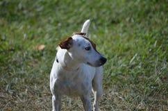 3d在教区牧师路径翻译罗素影子狗白色的剪报狗 免版税库存图片