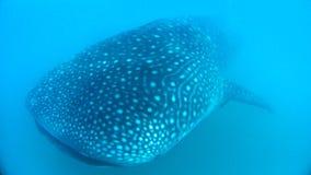 3d在路径的剪报使影子鲨鱼鲸鱼空白 免版税图库摄影