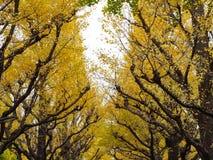 3d银杏树高例证解决方法结构树白色 图库摄影