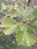 3d银杏树高例证解决方法结构树白色 免版税库存图片