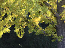 3d银杏树高例证解决方法结构树白色 免版税库存照片