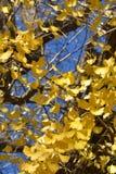 3d银杏树高例证解决方法结构树白色 库存图片