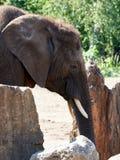 D'éléphant fin par des roches image libre de droits