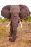 D'éléphant fin vers le haut Image stock