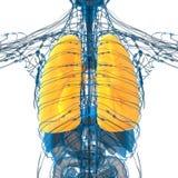3d übertragen medizinische Illustration der Lunge Stockfotos