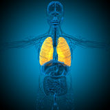 3d übertragen medizinische Illustration der Lunge Lizenzfreies Stockfoto