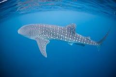 3d ścinek nad ścieżką odpłaca się cienia rekinu wielorybi biel fotografia stock