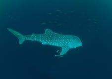 3d ścinek nad ścieżką odpłaca się cienia rekinu wielorybi biel Obrazy Stock