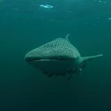 3d ścinek nad ścieżką odpłaca się cienia rekinu wielorybi biel Obrazy Royalty Free