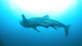 3d ścinek nad ścieżką odpłaca się cienia rekinu wielorybi biel zbiory wideo