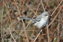 3d ścinku mockingbird północny nad ścieżki renderingu cienia biel Obrazy Royalty Free