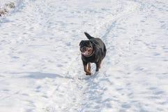 3d ścinku pies nad ścieżki renderingu rottweiler cienia biel Zdjęcie Stock