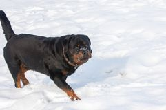 3d ścinku pies nad ścieżki renderingu rottweiler cienia biel Obraz Royalty Free