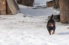 3d ścinku pies nad ścieżki renderingu rottweiler cienia biel Obrazy Royalty Free