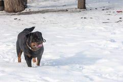 3d ścinku pies nad ścieżki renderingu rottweiler cienia biel Obrazy Stock