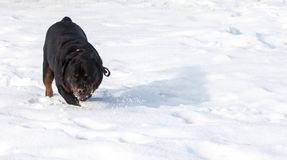 3d ścinku pies nad ścieżki renderingu rottweiler cienia biel Fotografia Royalty Free