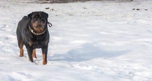 3d ścinku pies nad ścieżki renderingu rottweiler cienia biel Zdjęcia Royalty Free