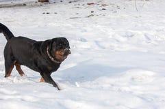 3d ścinku pies nad ścieżki renderingu rottweiler cienia biel Zdjęcia Stock