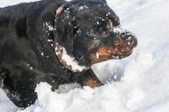 3d ścinku pies nad ścieżki renderingu rottweiler cienia biel Zdjęcie Royalty Free