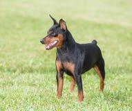 3d ścinku psa miniatura nad ścieżki pinscher renderingu cienia biel Fotografia Stock