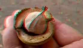 3D, анаглиф Гайка hickory Rype Осень стоковое фото
