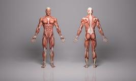 3D представляют: иллюстрация мужской модели с текстурой тканей мышцы иллюстрация штока