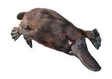 3D представляя Platypus на белизне стоковая фотография