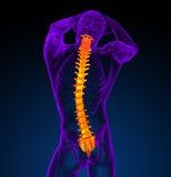 3d представляют медицинскую иллюстрацию человеческого позвоночника Стоковые Фотографии RF