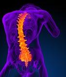 3d представляют медицинскую иллюстрацию человеческого позвоночника Стоковые Изображения RF