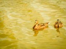 d200鸭子通配nikon的水 免版税库存图片