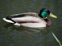 d200鸭子通配nikon的水 库存图片