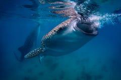 клиппирование 3d над путем представляет кита акулы тени белым Стоковые Изображения