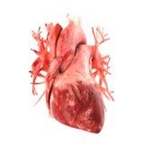 Анатомически правильная модель 3d человеческого сердца Стоковые Изображения RF
