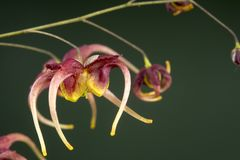 ` D'Akane de ` d'omeiense de l'Epimedium X photos stock