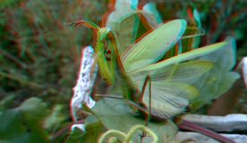 3D, anaglyph. Praying mantis, predator insect royalty free stock images