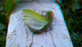 3D, anaglyph. Praying mantis, predator insect. 3D anaglyph, macro of Praying Mantis or Mantis Religiosa in a natural habitat. It looking at the camera. Predator stock photos