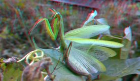 3D, anaglyph. Praying mantis, predator insect stock photography