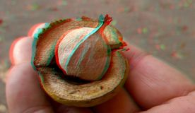 3D, anaglyph.Rype hickory nut. Autumn stock photo