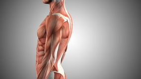 3d animated male body anatomy stock video