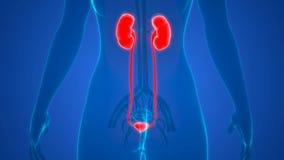 Female Internal organs Urinary System Bladder Anatomy Animation Concept