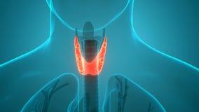 Human Body Glands Thyroid Gland Anatomy Animation Concept