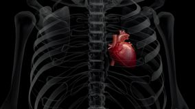 3D animation of a human x-ray chest and a beating heart