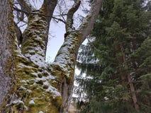 ` D'arbres et de neige de ` Images libres de droits